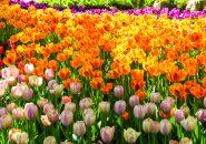 ようこそ!チューリップの楽園へ!富山県が魅せる花の園